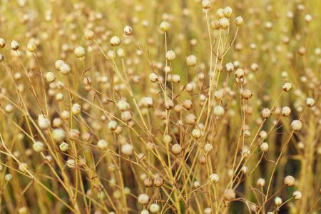 Brown seed boxes of flaxen oil. ripe and growing on the field before harvest
