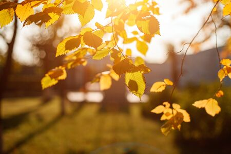 Golden, yellow and orange leaves under sunbeams from the blue sky. Autumn background.