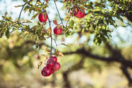 fruitful: Beautiful ripe red apples on the tree