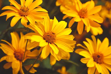 Bright yellow rudbeckia, beautiful flowers in the garden Stock Photo