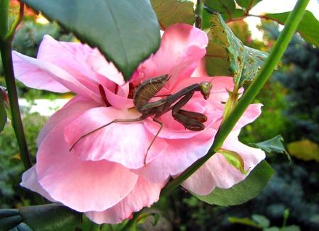 photgraphy: Praying mantis on the flower