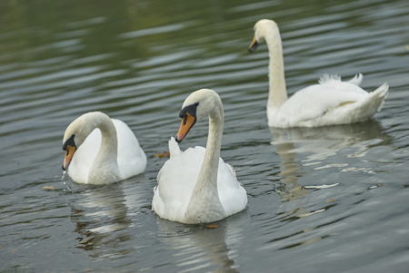 Three beautiful graceful white wild swans on the pond lake. Tsaritsino city park pond swans. Graceful swans. Wild white swans Archivio Fotografico
