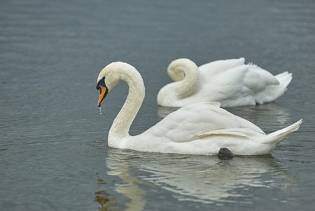 Two beautiful graceful white wild swans on the pond lake. Tsaritsino city park pond swans. Graceful swans couple. Wild white swans