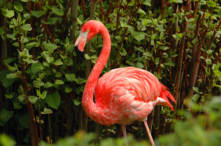 Beautiful portrait of one wild pink flamingo among green trees. Famous wild birds of phoenicopterus family. Old flamingo name red wings bird