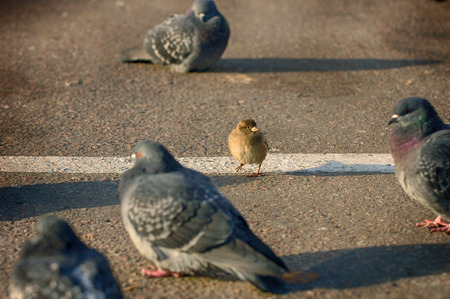 One brave sparrow vs doves on the street. Sparrow vs doves. Humor scene picture. Sparrow and dove wild city birds 免版税图像 - 79783257