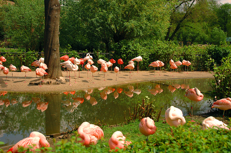 Beautiful landscape with wild pink flamingos on a river bank among green trees. Famous wild birds of phoenicopterus family. Pink lights lamps. Old flamingo name red wings bird Archivio Fotografico