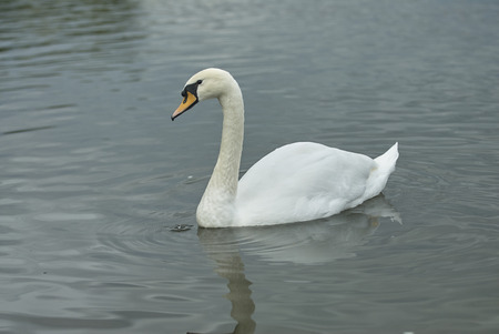 Beautiful graceful white wild swan on the pond lake. Tsaritsino city park pond swans