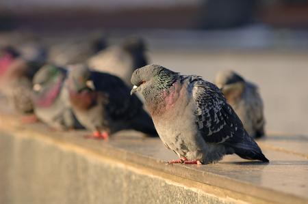 Diagonal view on gray doves. Dove portrait. City park birds of peace
