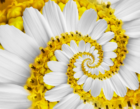 White yellow camomile daisy cosmos kosmeya flower spiral abstract fractal effect pattern background White flower spiral abstract pattern fractal Incredible floral twirl pattern round circle background
