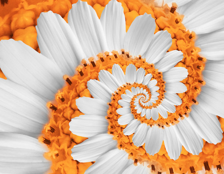 White orange flower swirl camomile daisy kosmeya flower spiral abstract fractal effect pattern fractal background. Twisted orange pastel flower spiral twirl. Distorted surreal flower floral background
