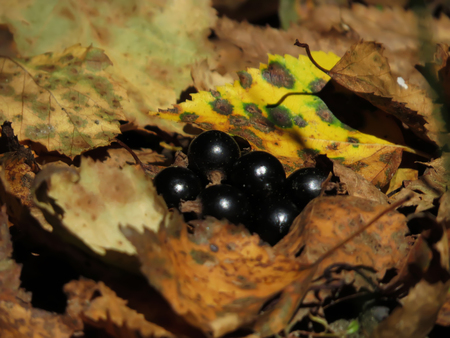 currants in the leaves