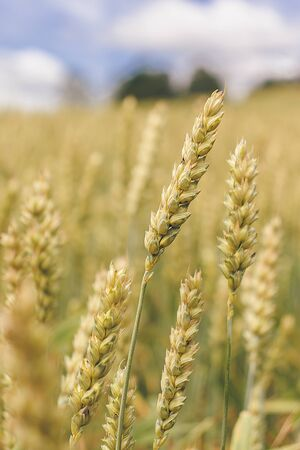 Wheat field on a background of cloudy sky. Yellow-green ears of ripening wheat, pouring grain.