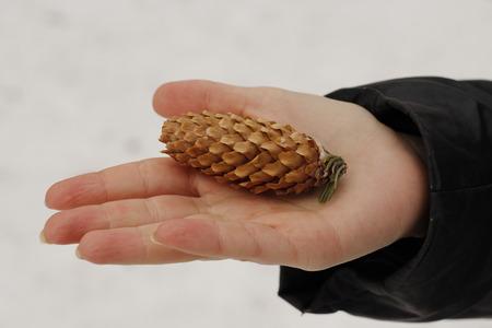 Christmas tree pine cone on a palm
