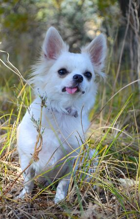 white Chihuahua dog on a walk sitting on the grass Stockfoto