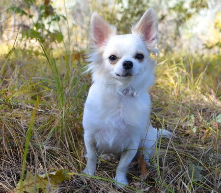 white Chihuahua dog on a walk sitting on the grass