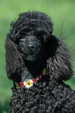 green background: Black Poodle on a green background