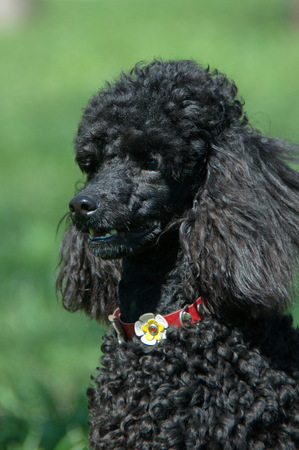 red green: Black Poodle close-up with red collar on a green background