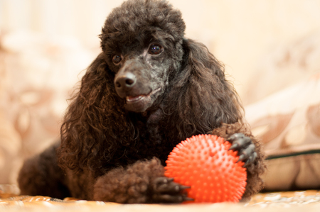 poodle: Black poodle with red ball is in the room day