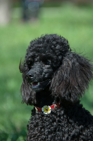 green background: Black Poodle close-up with red collar on a green background