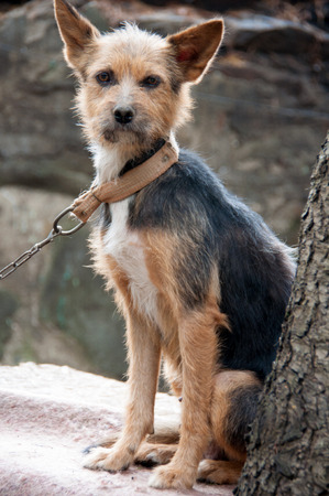 cur: cur sits near a tree with a collar and chain