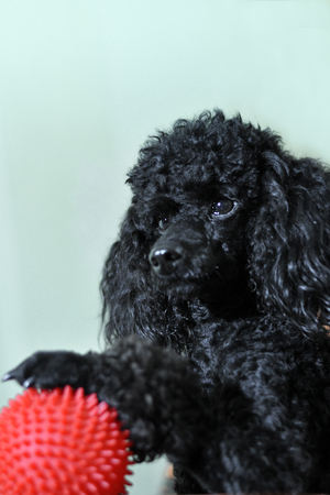 paw smart: Black poodle on a background of blue sky with a red ball