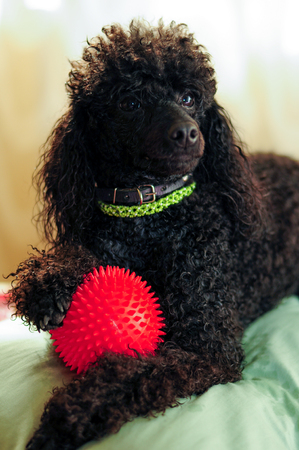 paw smart: Black poodle lying on the couch with a red ball