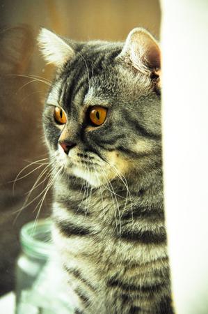 purebred: beautiful purebred cat British closeup