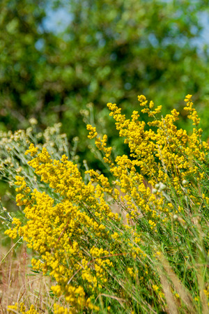 mountain yellow wildflowers shrub summer day Stock Photo