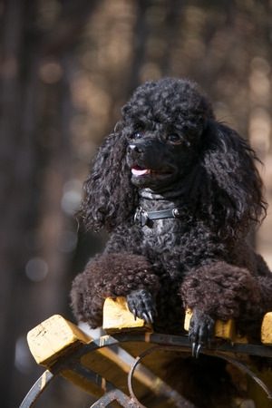 conformation: black poodle sitting on a bench in a summer day Stock Photo