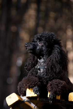 black poodle sitting on a bench in a summer day Stock Photo