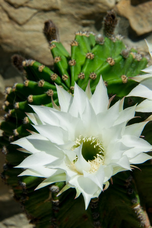 prickly flowers: open flowers of green prickly cactus closeup