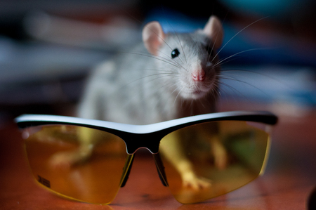 beautiful gray rat standing on the background of cycling glasses