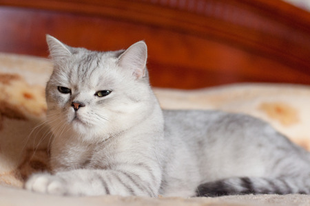 beautiful cat British shorthair breed indoors