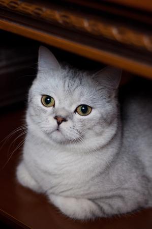 beautiful cat British shorthair breed indoors