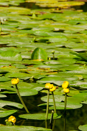 lot of yellow water lilies among green leaves in water