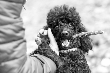 human hand holding a stick which gnaws black poodle Stock Photo