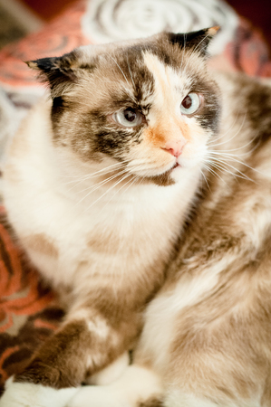 lop eared: cat breed of lop-eared close up with unfriendly muzzle Stock Photo