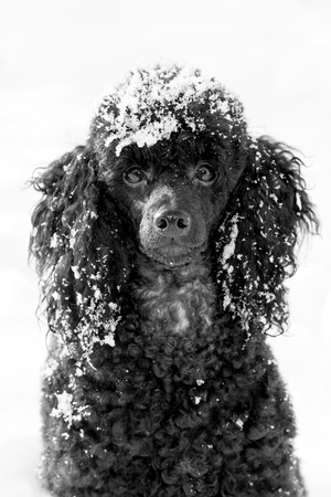 snowbound: snowbound beautiful black poodle sitting on snow in winter