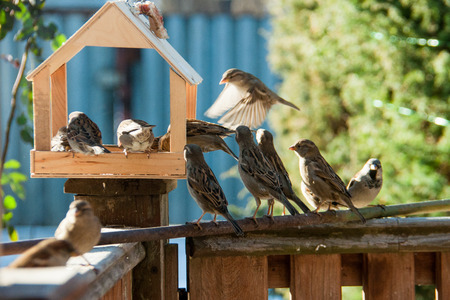 small world: flock of sparrows sitting near wooden feeding trough outdoors