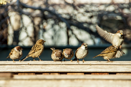 many gray sparrows sitting on a wooden fence