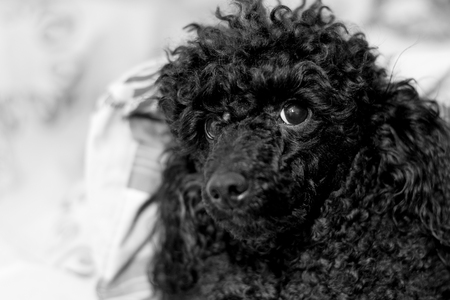 beautiful face black poodle with legs with a blanket Reklamní fotografie