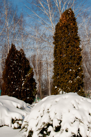 snowdrifts on bushes in a light winter day Stock Photo