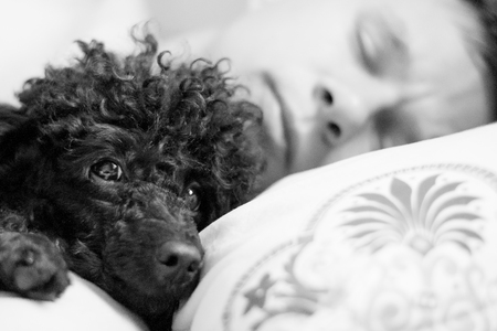 muzzle of a black poodle and a man on a pillow