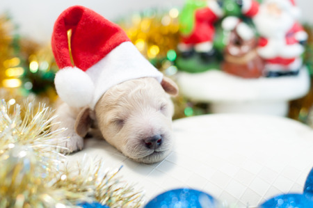 Newborn puppy in a red cap lies on the background of New Years toys Stock Photo