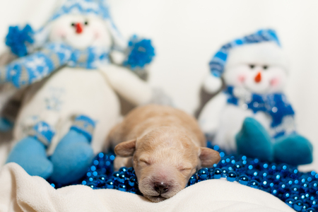 Newborn puppy with a red hat on a background of snowmen and beads