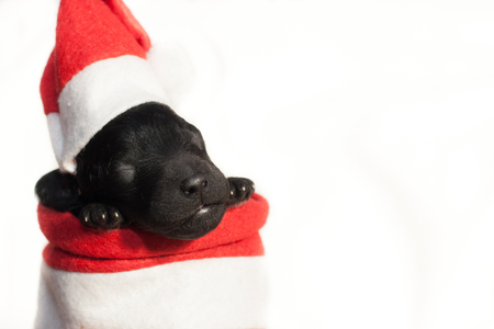 newborn puppy in a red hat and in a red cape on a white background