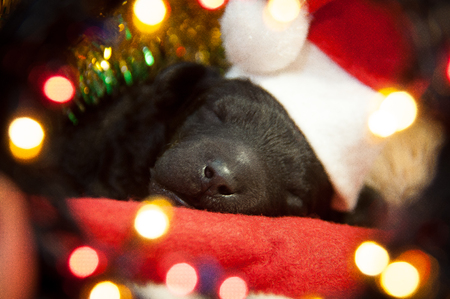 Newborn puppy in a red hat lies on the background of Christmas decorations