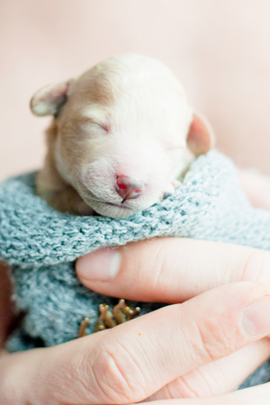 newborn puppy poodle beige color on the hands