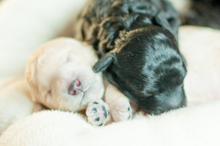 two newborn puppy poodle black and beige together