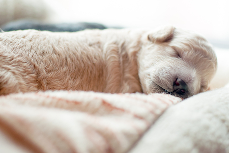 newborn puppy of beige color sweetly asleep Stock Photo